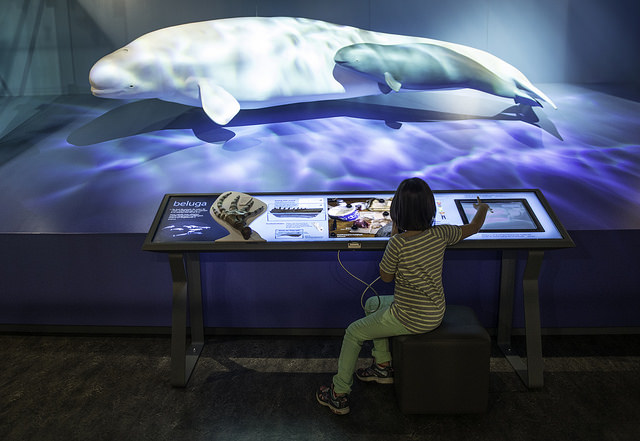 Beluga Whale diorama and interactive workstation at the PWNHC.