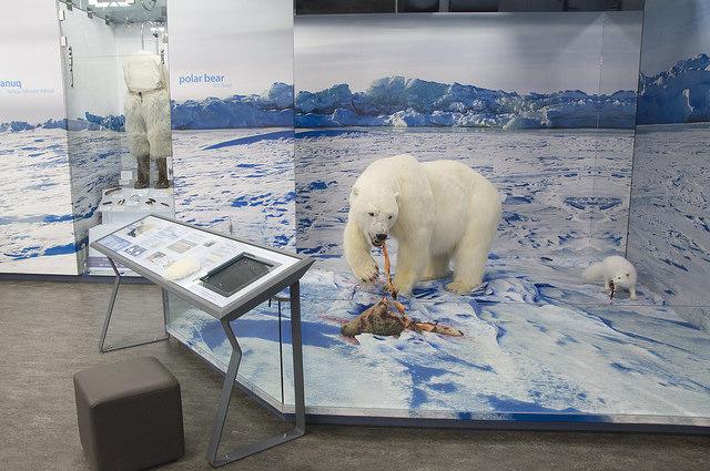 Display of life-size Polar Bear diorama at the PWNHC.