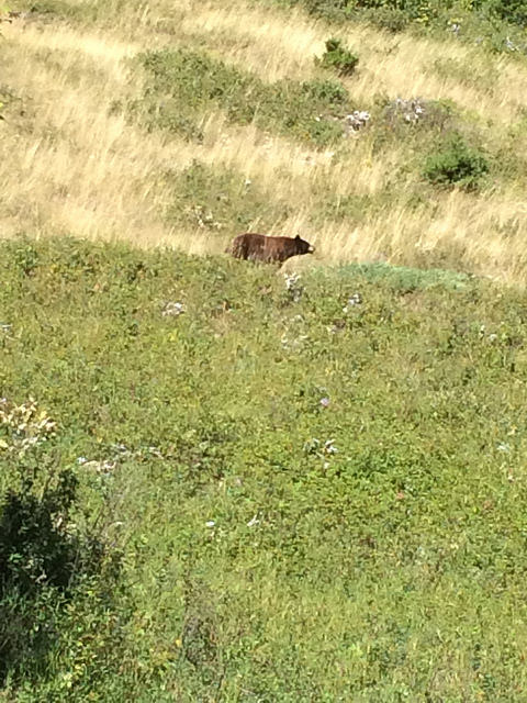 A bear seen in the distance on a grassy hill.