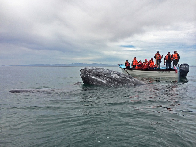 Visitors venture out on small, local panga fishing boats for a very personal whale-watching experience.