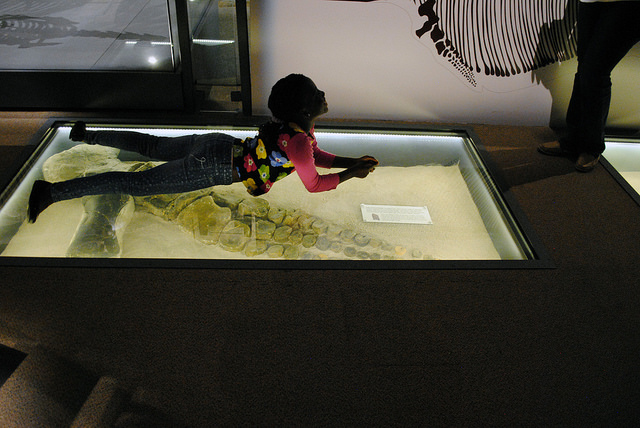 Ichthyosaur front paddle, floor display at Nevada State Museum Las Vegas.