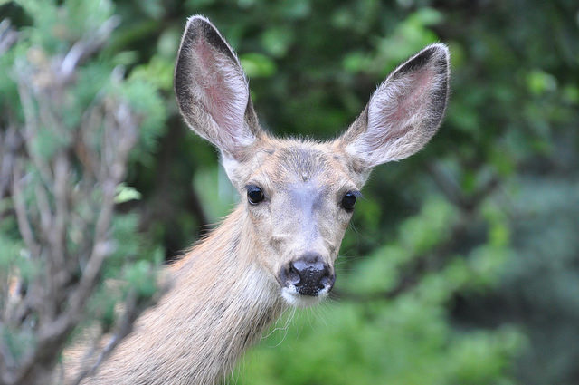 A mule deer doe looking out from behind a bush.