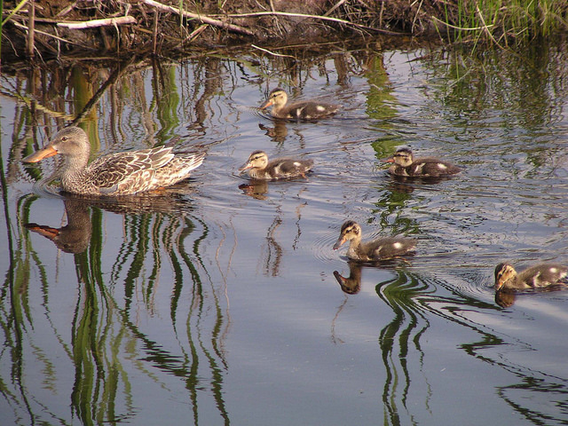 Northern shoveler duck swimming with five ducklings