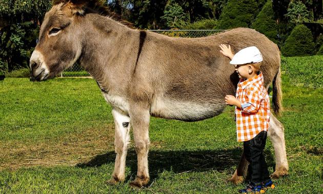 A small boy pets a donkey
