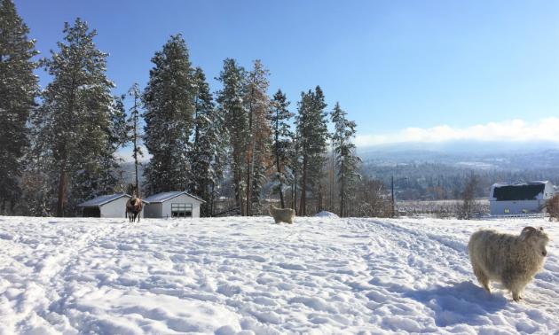 A sheep grazes on a field in winter