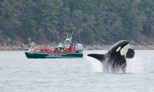 A killer whale jumps out of the water while a tour boat of people look on