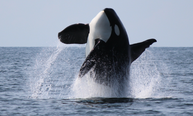 An orca jumps out of the ocean