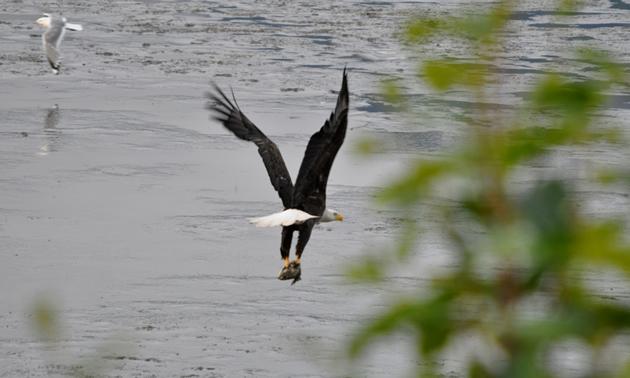 Bald eagle on the way to Valdez, Alaska.