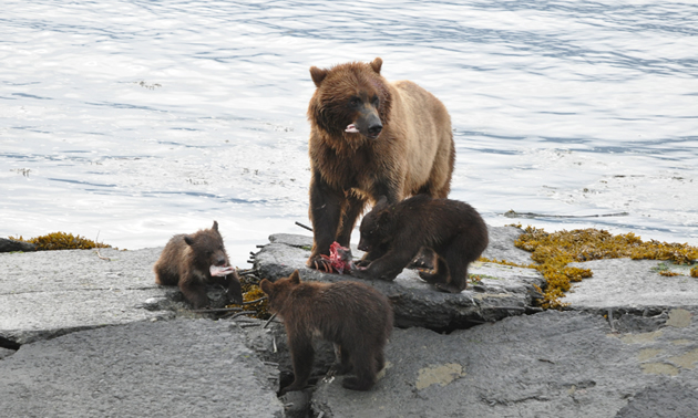 Grizzly bear mom with three of her four cubs in Valdez, Alaska.