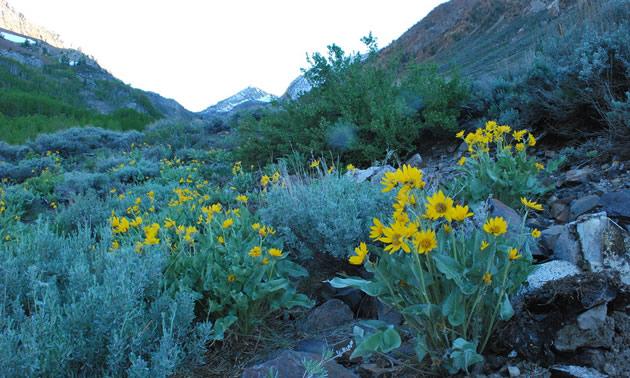 Yellow Arrowleaf balsamroot flowers.