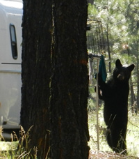 A black bear visits Sebastian Halyard's trailer