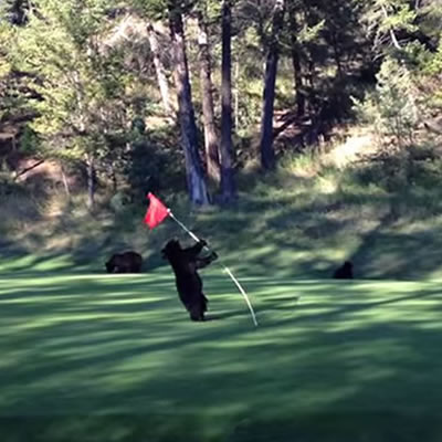 A young bear cub plays with a flagstick on the fairway.
