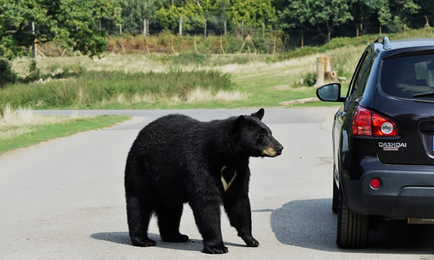Black bear on a road by a car