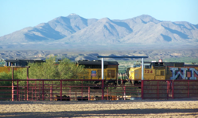 Trains and cattle resting in Benson, Arizona.