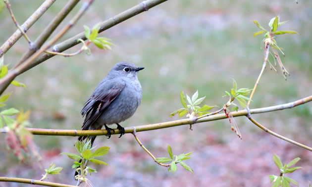 A townsend's solitaire looks majestic at Okanagan Falls Provincial Park.
