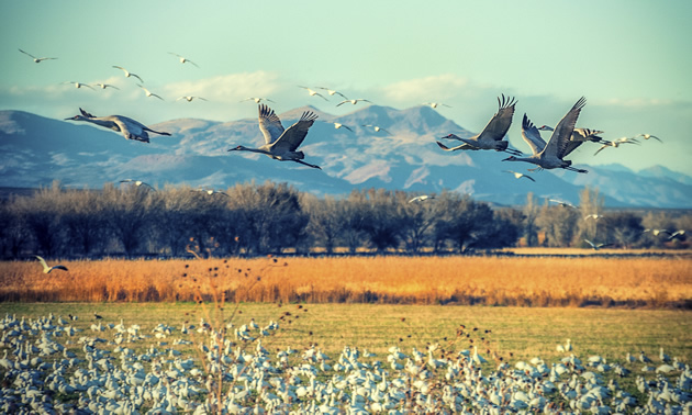 Bosque del Apache National Wildlife Refuge is a feeding and breeding ground for thousands of migratory birds near Socorro, New Mexico.