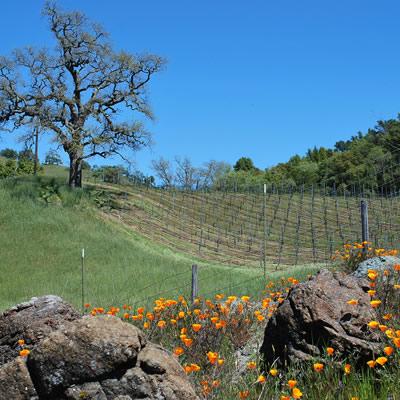 California poppies in field.