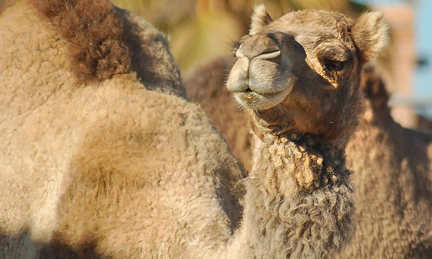 Azziza the camel looking down her nose at the camera