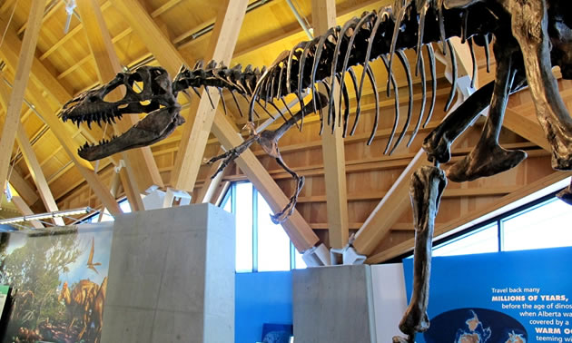 A fossil replica of Gorgosaurus.