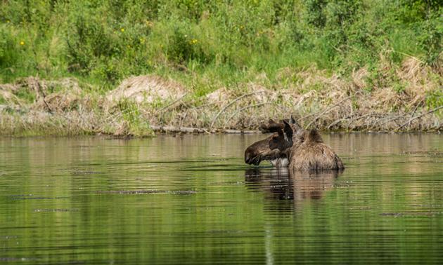 A bull moose in Fairbanks, Alaska.