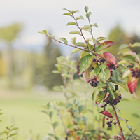 Wild berries growing outside Fort Nelson.