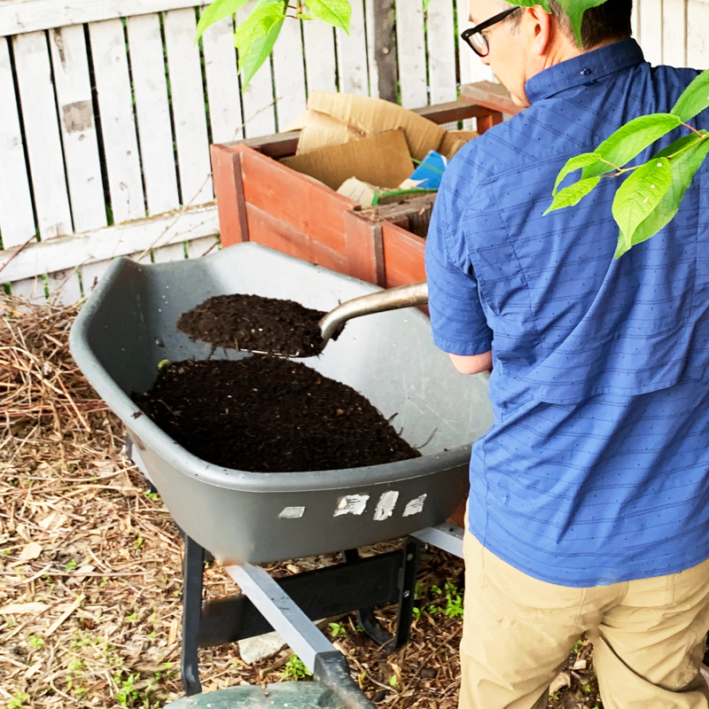 The author is shovelling black compost from his bins into a wheelbarrow.