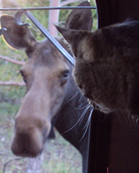 A moose and a house cat look at each other through a window