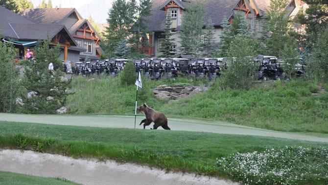 A grizzly bear streaks across a golf course.