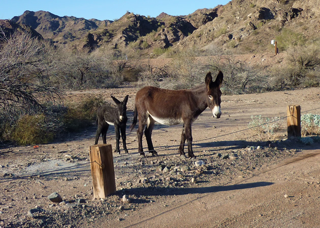 Wild Burros are now-feral remnants of the mining days in Parker Dam, California.