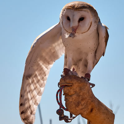 A barn owl is standing on a gloved hand at the owl demo at the Arizona-Sonoara Desert Museum in Tucson.