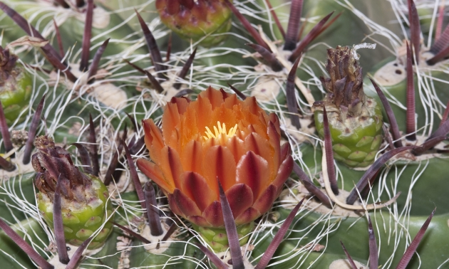 a flowering cactus