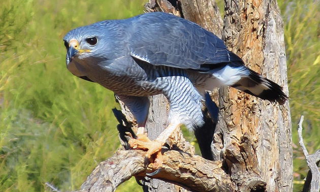 A gray hawk perched on a dead tree