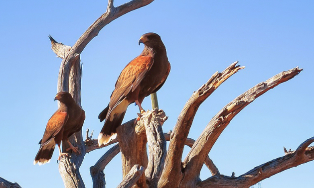 Some hawks perched on a dead tree