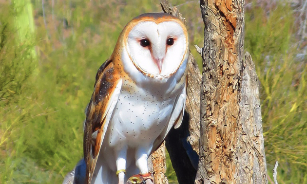 A barn owl perched on a dead tree
