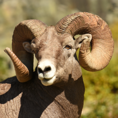 California bighorn sheep