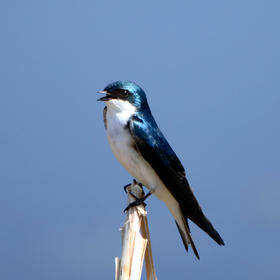 Tree swallow at McQueen's Slough