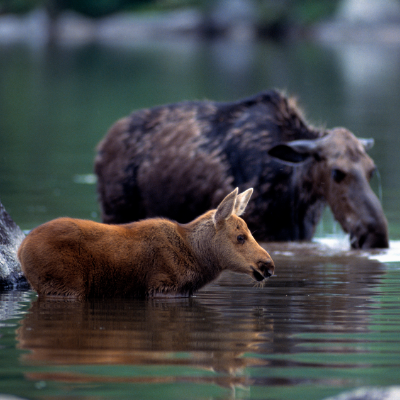 A cow moose and her calf in a river