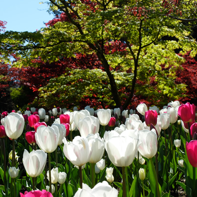 Red and white tulips are beautiful against a backdrop of assorted colourful maples.