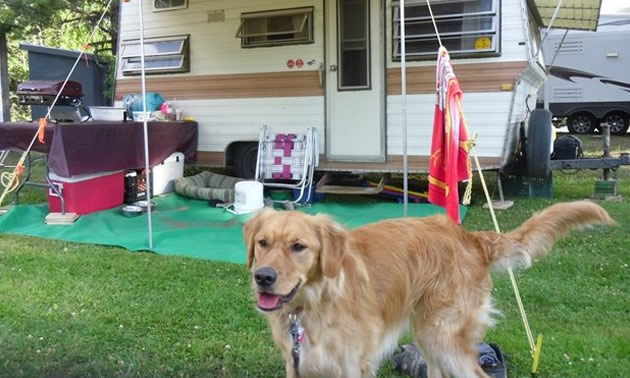 Vintage scamper camper in background, with handsome Golden Retriever dog in foreground.