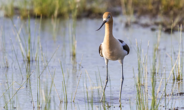 Larger wetlands with a wide band of mud and riparian area are more likely to be home to shorebirds like the American Avocet.