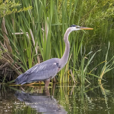 Blue Heron are patient hunters. (Or are they fishers?)