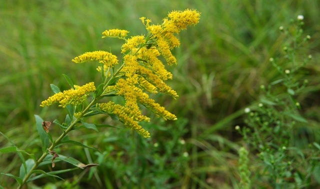 The bright yellow flowers of the Canadian Goldenrod.