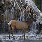 elk gathered under a waterfall in Fort Nelson, BC's RV area