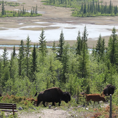 Wood Buffalo National Park, with herd of bison in foreground.