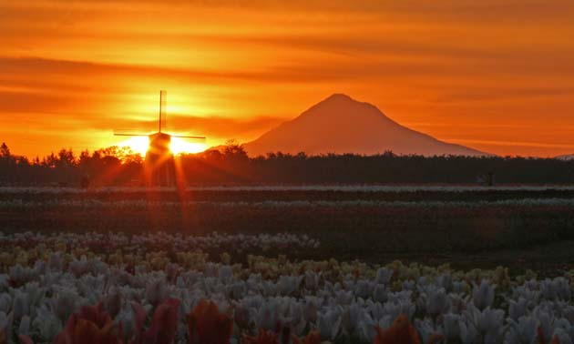 Sunrise over Mount Hood and the tulips is special.