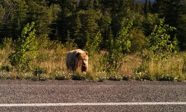 A grizzly bear forages calmly along the highway near Burwash Landing, Yukon.