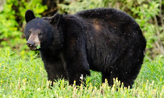 Black bear near Liard River Hot Springs Provincial Park, BC.