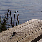 dragonfly on a dock in Athabasca, Alberta