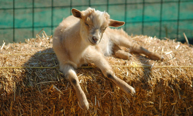 An adorable baby goat catching a quick nap in the sun on a straw bale