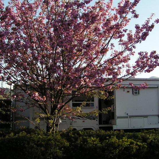 An RV is parked at a campsite with a tree next to it in full bloom.